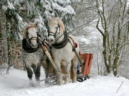 Cavalli carnivori