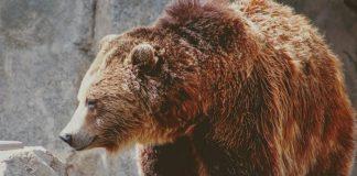 Selfie mortale: uomo ucciso da un orso