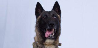 K-9 il cane eroe che ha stanato Al Baghdadi