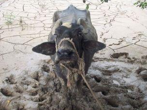 Massacro di animali alla cerimonia religiosa di Gadhimai