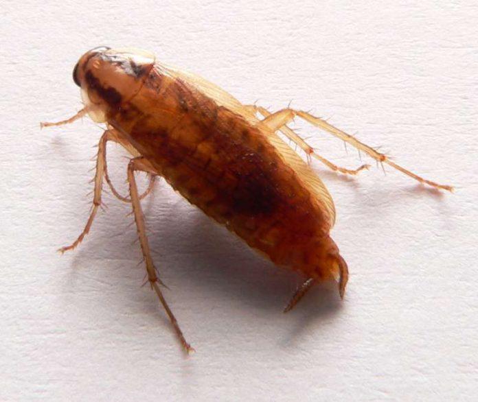 Scarafaggi: sempre più immuni ai pesticidi
