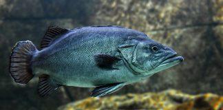 Farmaci per gli umani influenzano il comportamento dei Pesci