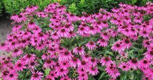 L'Echinacea: pianta originaria dell'America
