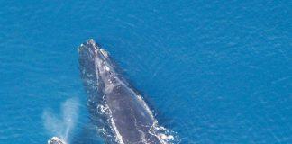 Balene: madre e figlio bisbigliano per evitare i predatori