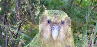 Heracles: il pappagallo gigante della Nuova Zelanda