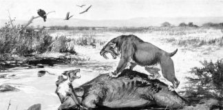 La dieta delle tigri dai denti a sciabola