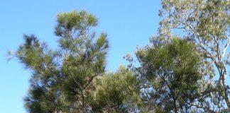 Quale albero ha il legname più duro? persino dell'alluminio o dell'acciaio?
