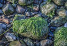 Alga tossica in Puglia