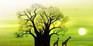 Il baobab africano : Adansonia digitata