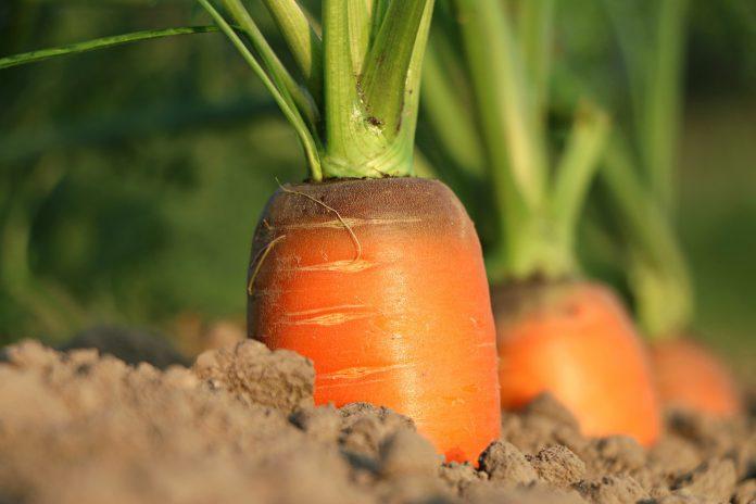 Mangiare carote fa ingrassare? Ecco la risposta della medicina
