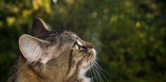 Il gatto delle foreste norvegesi:curiosità