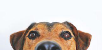 Diabete: l'olfatto dei cani avverte le crisi glicemiche