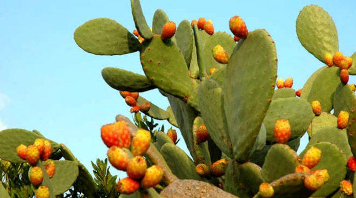 pianta fico dindia senza spine prezzo