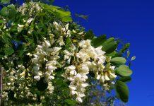 L' Acacia: usi in medicina popolare ed in cucina