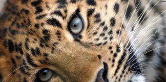 India: donna uccide leopardo dopo una furiosa lotta