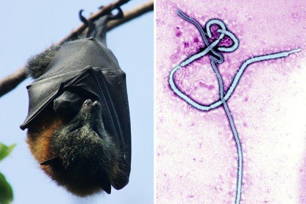 Měnglà: nuovo virus simile all'ebola trovato nei pipistrelli in Cina