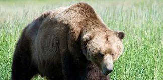 Una nuova Daniza? L'orsa Kj2 sotto accusa