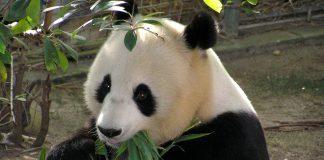 Nata in Malesia la cucciola di panda Yi Yi