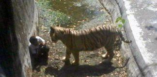 Brasile: il padre lo perde di vista un attimo e una tigre lo aggredisce
