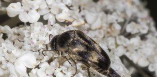 insetto impollinatore Variimorda villosa